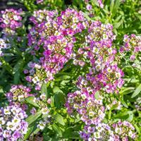 Sweet Alyssum 'Rosie O'Day'