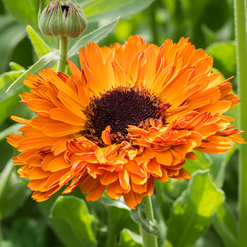 Calendula 'Red Devil'