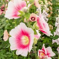 Hollyhock 'Halo Blush'