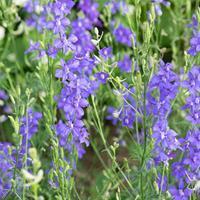 Larkspur 'Bunny Bloom Indigo' Organic