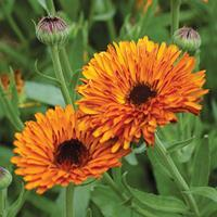 Calendula 'Touch of Red-Orange' Organic