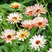 Calendula 'Touch of Red Buff'