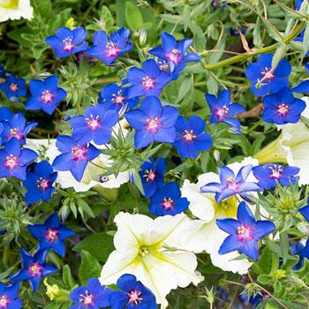 Pimpernel 'Gentian Blue'