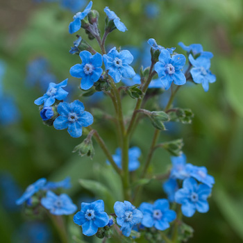 Chinese Forget Me Not 'Firmament' Organic