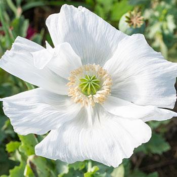Poppy 'Sissinghurst White'