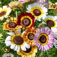Painted Daisy 'Rainbow Mix'