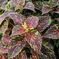 Coleus 'Main Street Michigan Avenue'