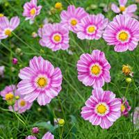 Cosmos 'Happy Ring'