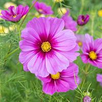 Cosmos 'Sensation Radiance'