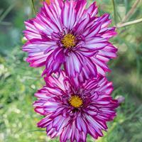 Cosmos 'Double Click Bicolor Violet'