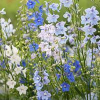 Delphinium 'CT Yankee Mix'