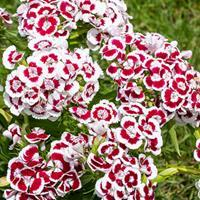 Sweet William 'Holborn Glory'
