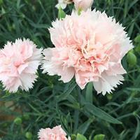 Carnation 'Chabaud Giants La France'