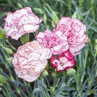 Carnation 'Chabaud Giants Benigna'