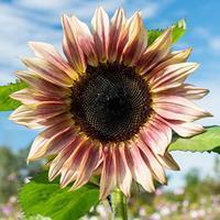 Sunflower 'ProCut® Plum'
