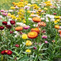 Strawflower 'Swiss Giants Mix'