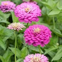 Zinnia 'Dream'
