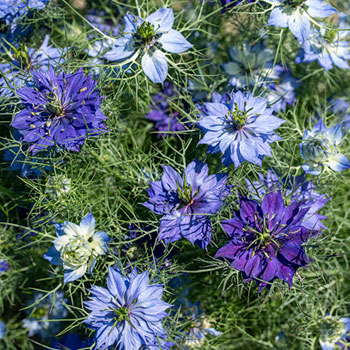 Love-in-a-Mist 'Moody Blues'