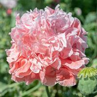 Poppy - Peony 'Frosted Salmon'