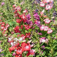 Penstemon 'Sensation Mix'