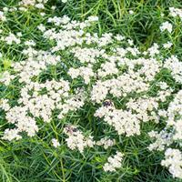 Mountain Mint - Narrowleaf
