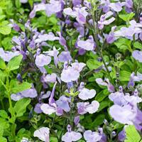 Salvia 'So Cool Pale Blue'