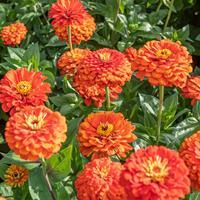 Zinnia 'Orange King'