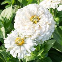 Zinnia 'Polar Bear'