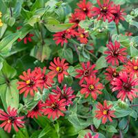 Zinnia 'Red Spider'