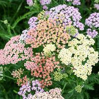 Yarrow 'Colorado Mix'