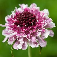Sweet Scabious 'Beaujolais Bonnets'