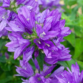 Bellflower 'Freya'