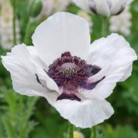 Poppy - Oriental 'Royal Wedding'