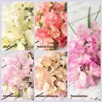 Sweet Pea 'Romantic Spencer' Plant Collection