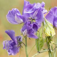 Sweet Pea 'Skywalker'