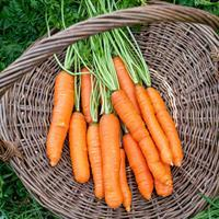 Carrot 'Napoli' F1 Organic