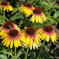Coneflower Butterfly™ 'Yellow Rainbow Marcella'