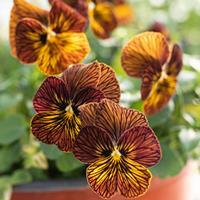 Viola 'Tiger Eye Mix' F1