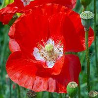Poppy - Corn 'American Legion'