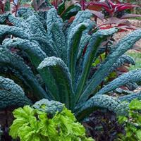 Kale 'Nero di Toscana'