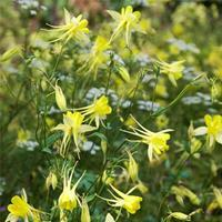 Columbine 'Denver Gold®'