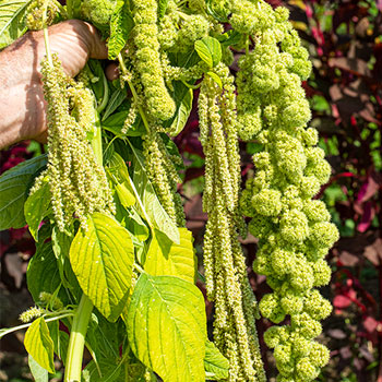 Amaranth 'Green Pearls Mix'
