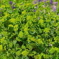 Bupleurum 'Green Gold'