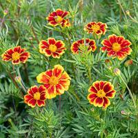 Marigold 'Frances' Choice' Organic