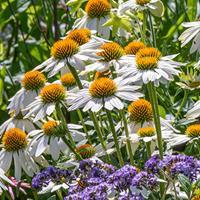 Coneflower 'PowWow White'