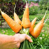 Carrot 'Chantenay' Organic