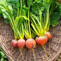 Beet 'Touchstone Gold' Organic