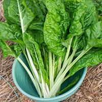 Chard 'Fordhook Giant' Organic