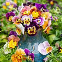Viola 'Historic Florist Mix'