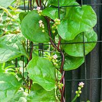 Malabar Spinach 'Rubra'